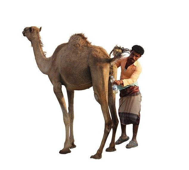 Urina cammello islam